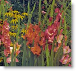 gladiola bulbs make wonderful cut flowers