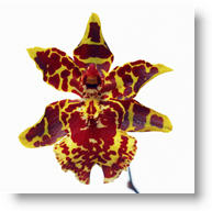 Learn about orchid flower care.