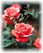 Learning rose gardening in our Easy Rose Gardening Ebook.